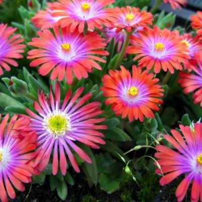 Delosperma Jewel of Desert Garnet (PP# 23471-Includes .16 Royalty)