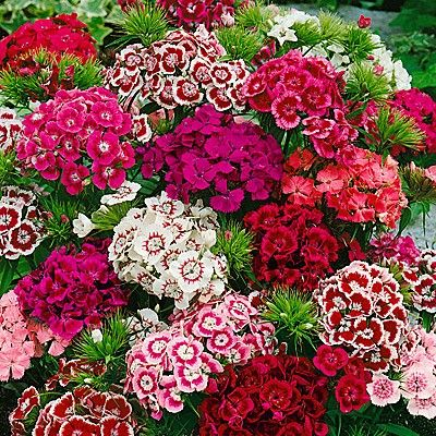 Dianthus b Indian Carpet Mix