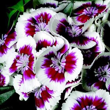 Dianthus b Red Picotee
