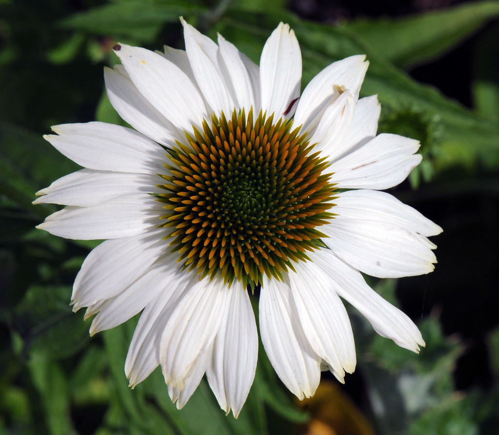 Echinacea P Pow Wow White Meadow View Growers Wholesale Plants