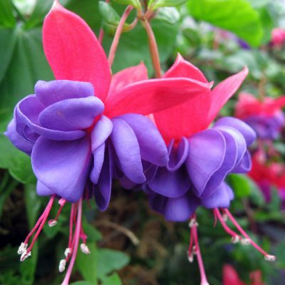 Fuchsia, Blue Eyes RC