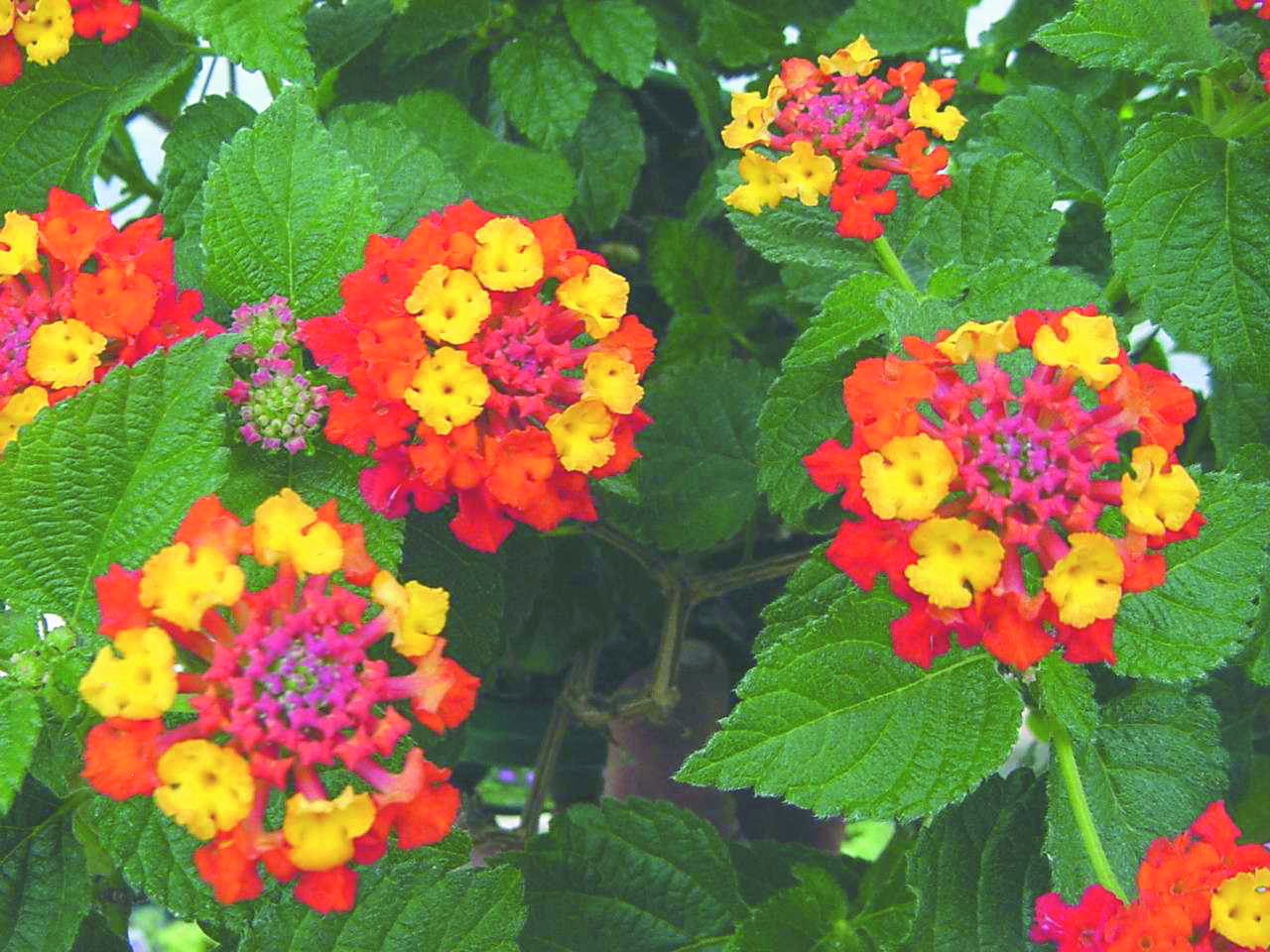 Lantana Dallas Red Rc Meadow View Growers Wholesale Plants