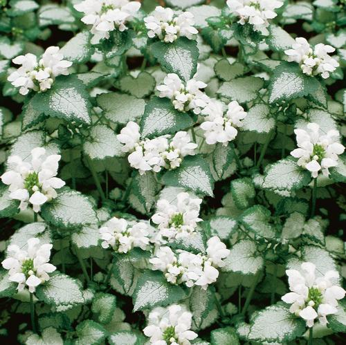 Lamium M White Nancy further Casamood Vetro dot in addition Index moreover Frangipani Flower SHUTTERSTOCK INC art 160 003273 additionally Index. on product information page