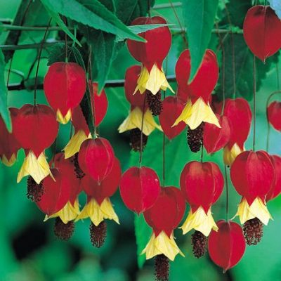 Abutilon, Chinese Lantern RC